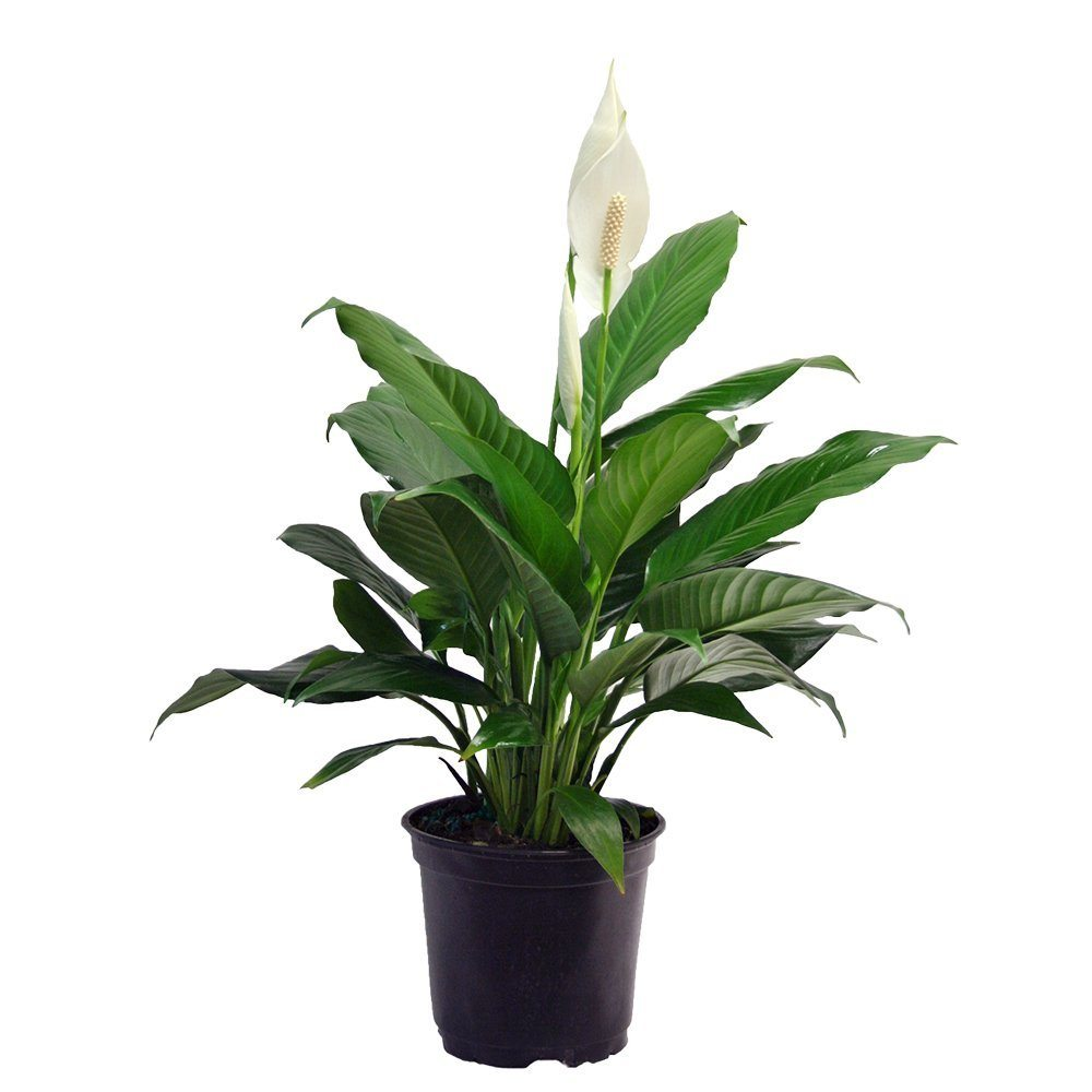 Best indoor plant featuring a peace lily.