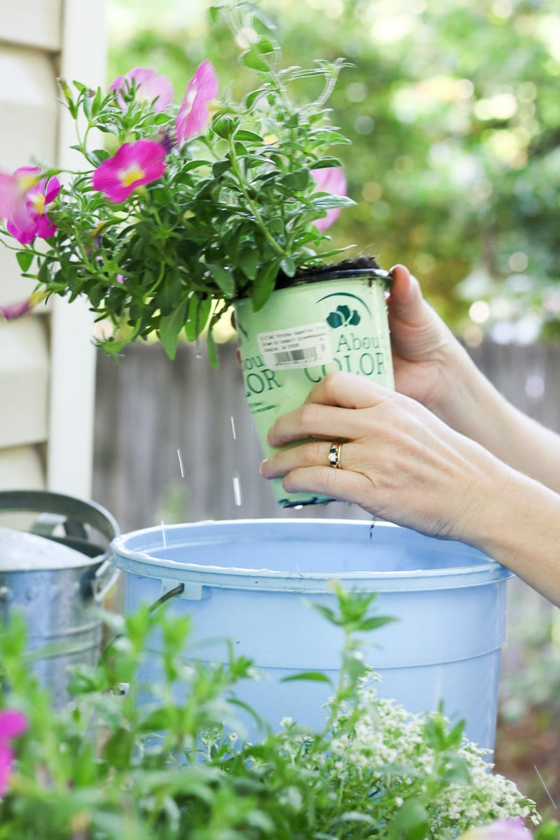 Container flower gardening squeezing the pot to remove the plant