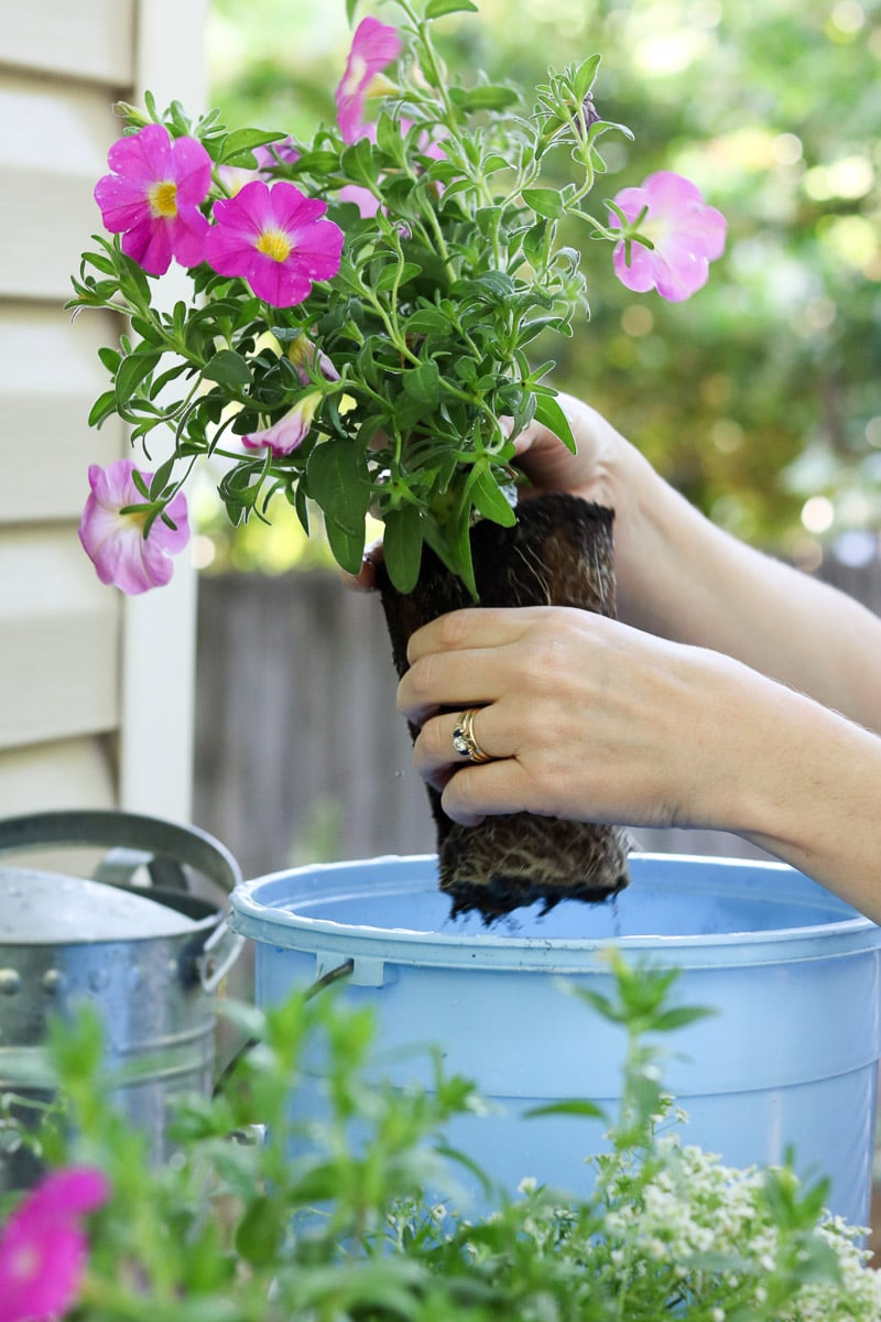 Container flower gardening breaking up the roots