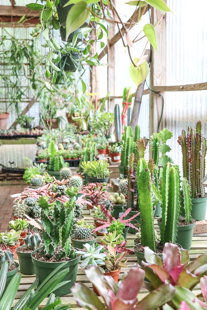 Best indoor plants from a local nursery greenhouse featuring cactuses and hanging plants.